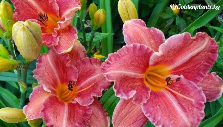 Снимка Хемерокалис Фантазия / Hemerocallis pretty fancy /