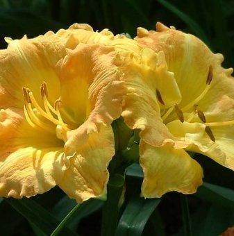 Хемерокалис Контрабандно злато / Hemerocallis smuglers gold /..