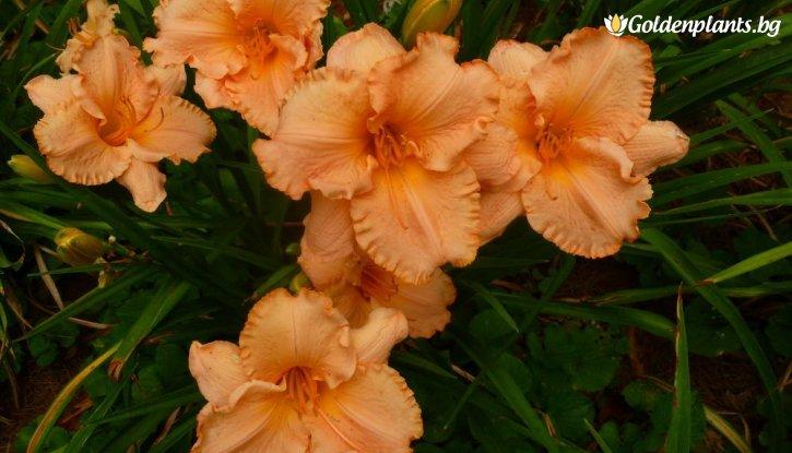 Снимка Хемерокалис Елизабет Солтър / Hemerocallis elisabeth salter /