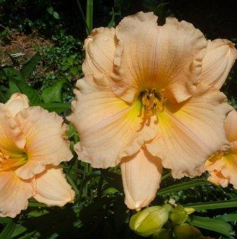 Хемерокалис naomi ruth / Hemerocallis naomi ruth /..