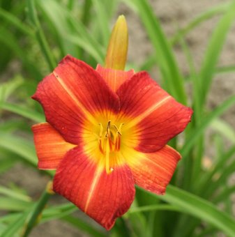 Хемерокалис Огнена корона / Hemerocallis crown fire /..
