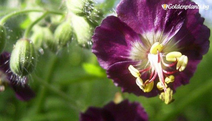 Снимка Здравец кафяв / Geranium phaeum /