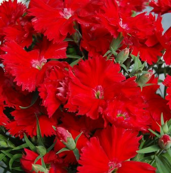 Китайски карамфил Скарлет /Dianthus Chinensis Scarlet/..