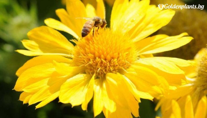 Снимка Гaйлapдия Меса Йелол /Gaillardia grandiflora Mesa Yellow/