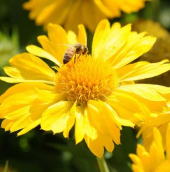 Гaйлapдия Меса Йелол /Gaillardia grandiflora Mesa Yellow/..