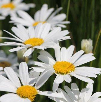 Маргарита голяма Snow Lady / Leucanthemum maximum Snow Lady /..