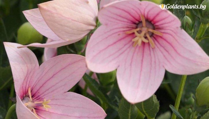 Снимка Платикодон Astra Pink /Platycodon grandiflorus Astra Pink/