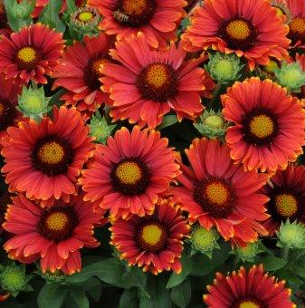 Гайлардия Аризона червени сенки /Gaillardia Arizona Red Shades /..