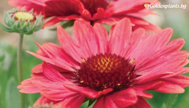 Снимка Гайлардия Аризона червени сенки /Gaillardia Arizona Red Shades /