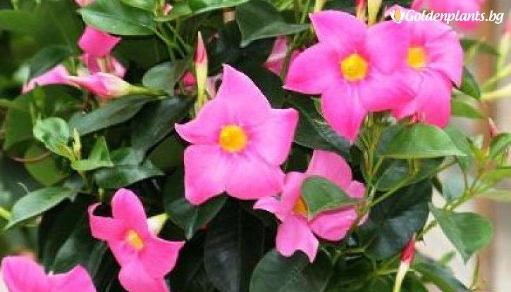 Снимка Мандевила - Дипладения  Rose Star Classic  /Mandenvila - Dipladenia Rose Star Classic/
