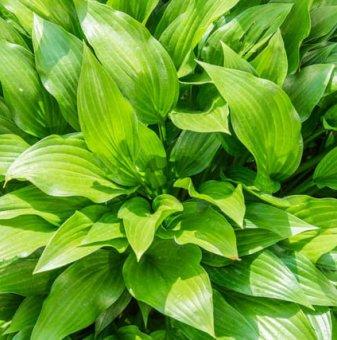 Хоста Зелени листа / Hosta PLANTAIN LILY /