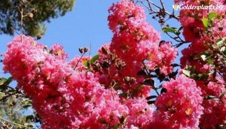 Снимка Индийски люляк Tъмнорозов /Lagerstroemia indica Rosea/
