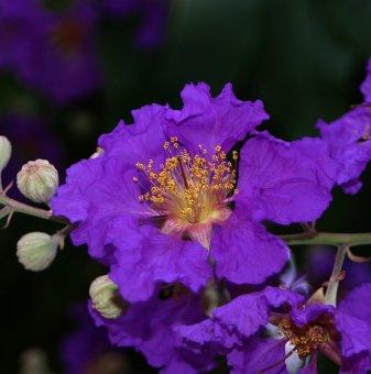 Индийски люляк Лилав /Lagerstroemia indica Violet/ ..