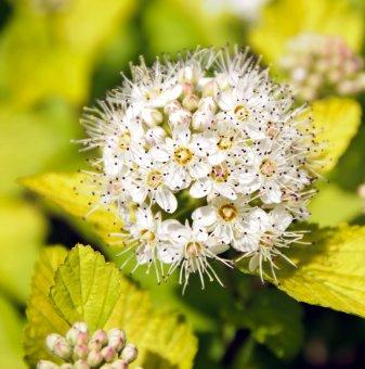 Физокарпус Голд /Physocarpus Gold/...