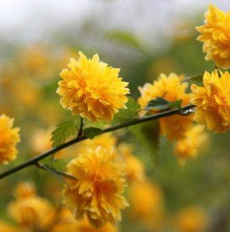 Керия Японика Pleniflora /Kerria Japonica Pleniflora/...