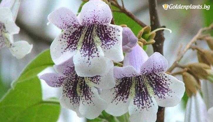 Снимка Пауловния Томентоса - 60 - 80 см  /Paulownia tomentosa/