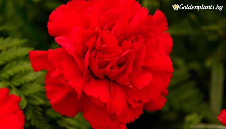 Снимка Карамфил червен / Dianthus /