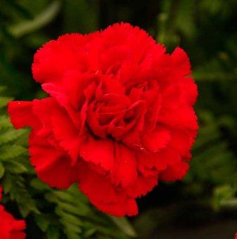 Карамфил червен / Dianthus /