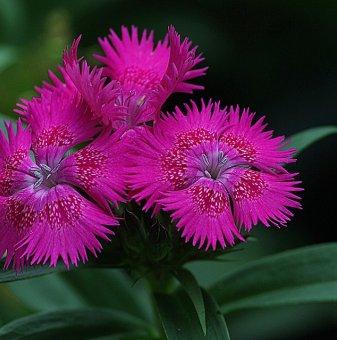 Карамфил цикламенo-червен / Dianthus /
