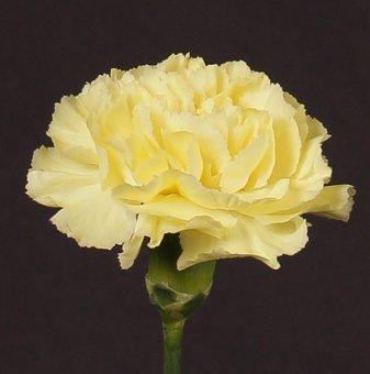 Карамфил жълт / Dianthus /