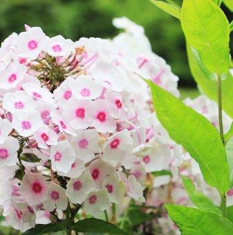 Флокс розово-бял...