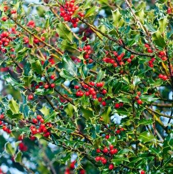 Джел Аляска / Илекс / ilex aquifolium Alaska /