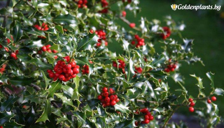Снимка Джел Аляска / Илекс / ilex aquifolium Alaska /
