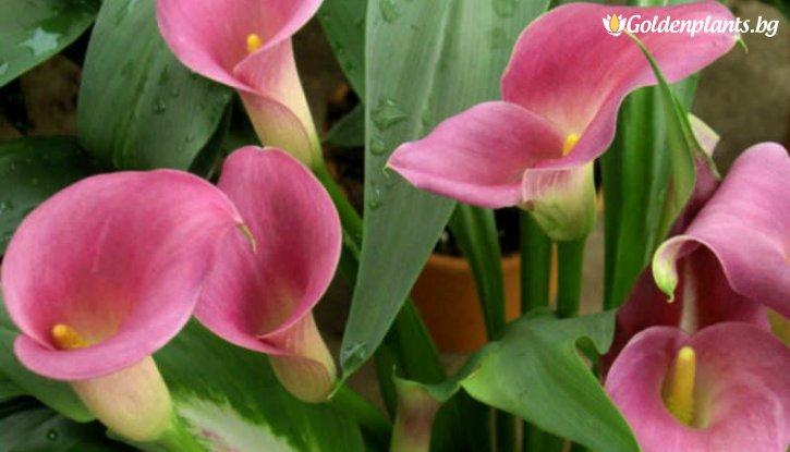 Снимка Кала розова / Zantedeschia pink /
