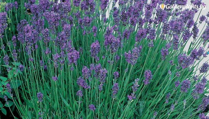 Снимка Лавандула Мунстийт /Lavandula angustifolia Munstead/