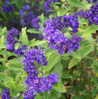Кариоптерис /Caryopteris cland. Heavenly Blue/