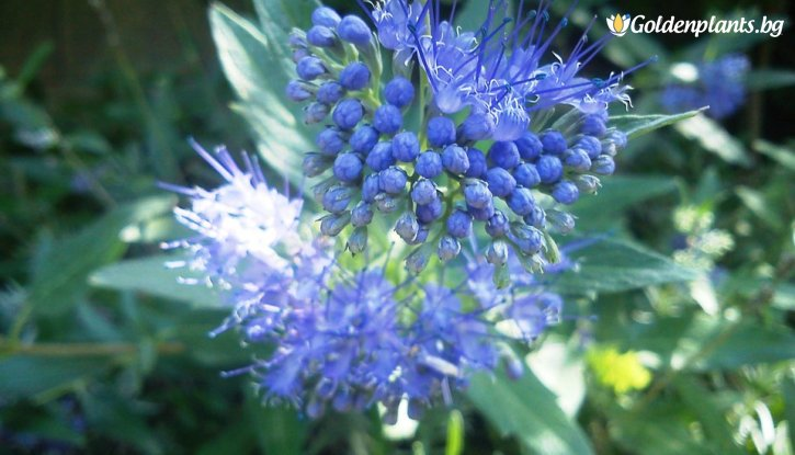 Снимка Кариоптерис /Caryopteris cland. Heavenly Blue/
