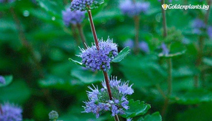 Снимка Кариоптерис /Caryopteris cland. Heavenly Blue/