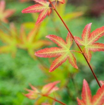 Японски клен Малката принцеса 30-40 см /Acer palmatum Little Princess/...