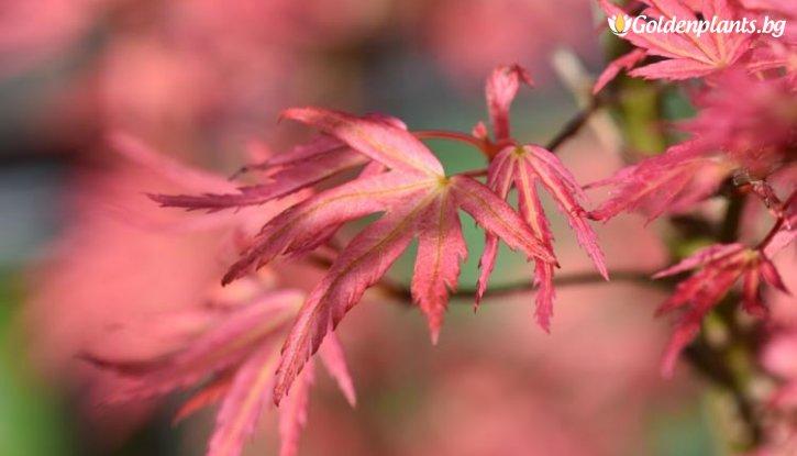 Снимка Японски клен Розов 30-40см. /Acer palmatum Wilsons Pink Dwarf/
