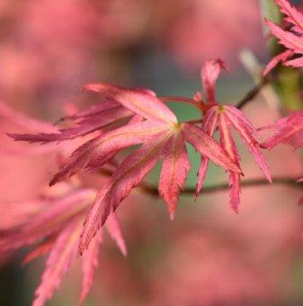 Японски клен Розов 30-40см. /Acer palmatum Wilsons Pink Dwarf/...