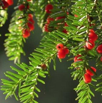 Тис, Таксус 20-30 см. /Taxus baccata fastigiata/...