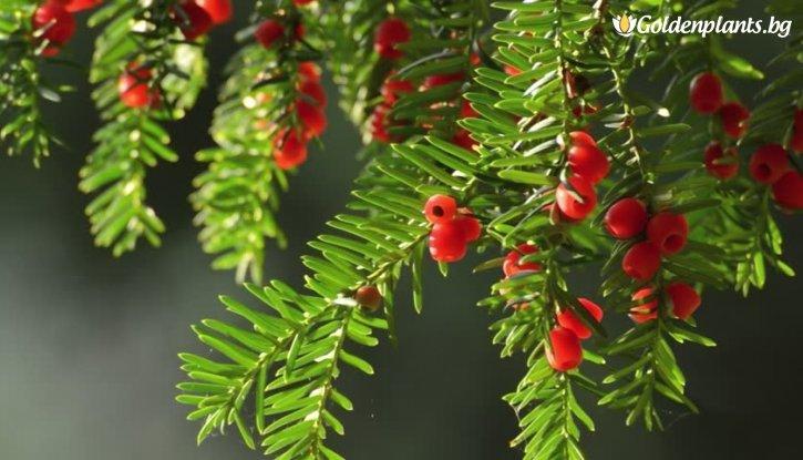Снимка Тис, Таксус 20-30 см. /Taxus baccata fastigiata/