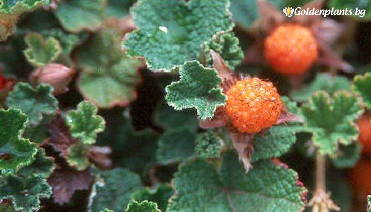 Снимка Къпина Бети Ашбърнер /Rubus Betty Ashburner/