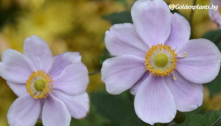 Снимка Анемоне Конгон Шарлот / Anemones Konigin charlotte hybrida /