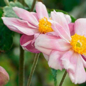 Анемоне Конгон Шарлот / Anemones Konigin charlotte hybrida /..