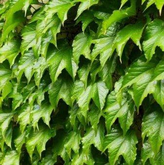 Дива лоза с лъскави листа /Parthenocissus Tricuspidata/ ..