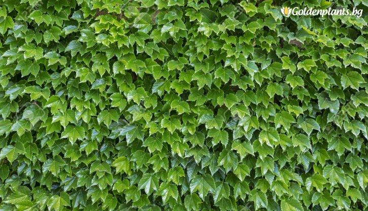 Снимка Дива лоза с лъскави листа /Parthenocissus Tricuspidata/