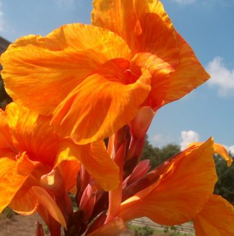 Индийска канна Оранжева Красота / Canna orange beauty /..