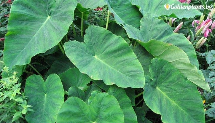 Снимка Трилистник / Колоказия / Colocasia esculenta /