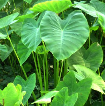 Трилистник / Колоказия / Colocasia esculenta /