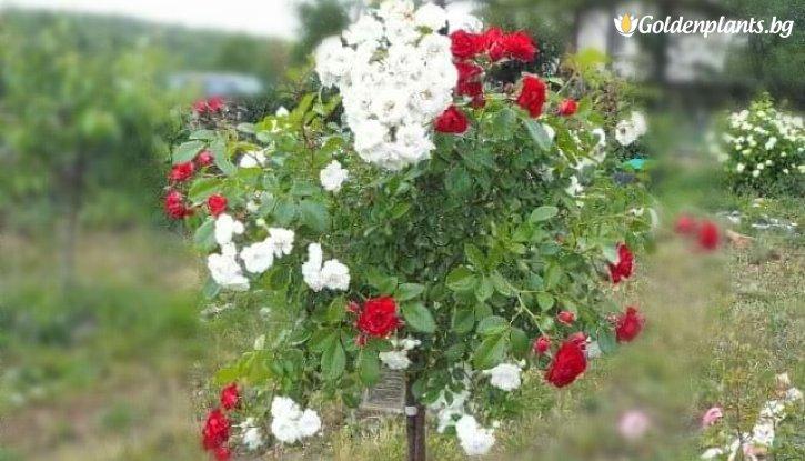 Снимка Двуцветна червено и бяло плачеща роза - Дърво 110 - 140 см.