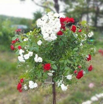 Двуцветна червено и бяло плачеща роза - Дърво 110 - 140 см...