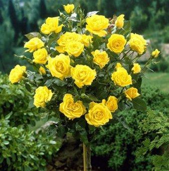 Тъмножълта щамбова роза - Дърво 110 - 140 см....