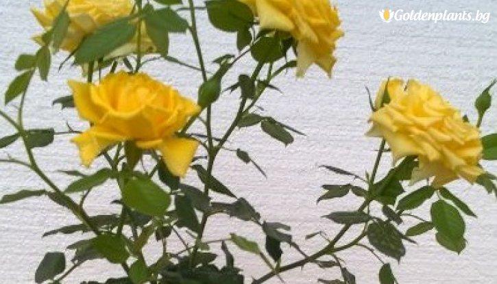 Снимка Тъмножълта щамбова роза - Дърво 110 - 140 см.