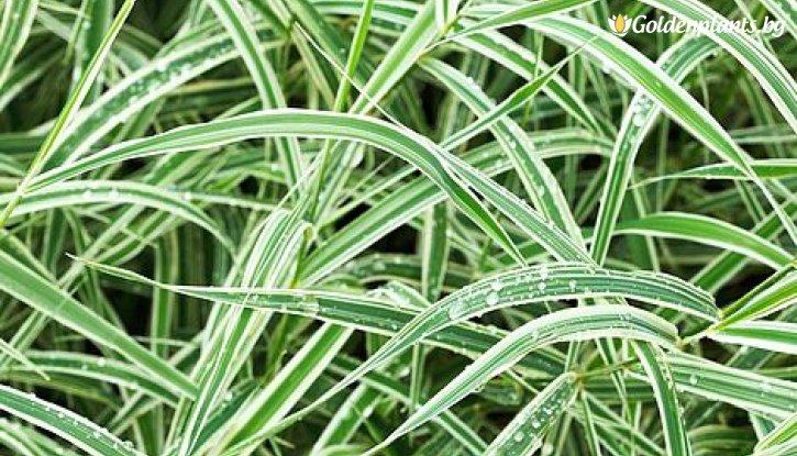 Снимка Японска тръстика - Карекс /Carex morrowii/